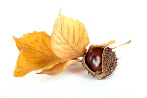 A picture of a leaf and Chestnut